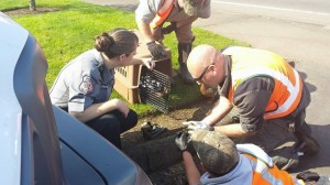 6) rescuing another duckling